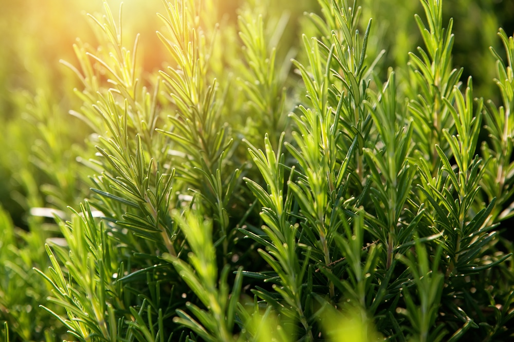 rosemary —natural insect repellent